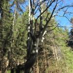 Rohrkopfhütte 2 Baum
